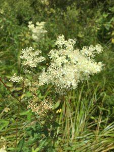 Mädesüss Blüte - Es gibt kein Unkraut